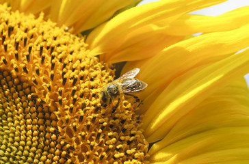 Bee on sunflower. Close-up view