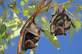 Black flying-foxes, Kakadu National Park, Australia