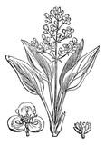 Water Plantain or Alisma sp., vintage engraving poster