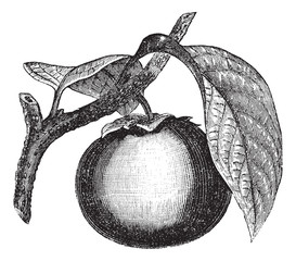 Japanese Persimmon or Diospyros kaki, vintage engraving