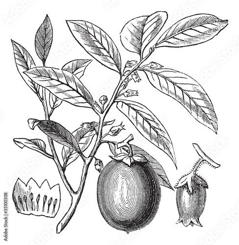 American Persimmon or Diospyros virginiana, vintage engraving