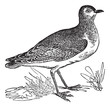 Golden Plover or Pluvialis sp., vintage engraving