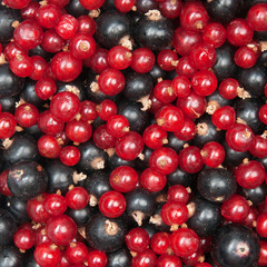 redcurrant and  blackcurrant