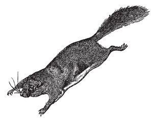 Flying Squirrel or Pteromyini or Petauristini, vintage engraving