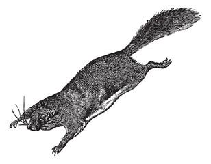 Flying Squirrel or Pteromyini or Petauristini, vintage engraving