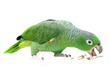 Mealy Amazon parrot (Amazona farinosa) eating