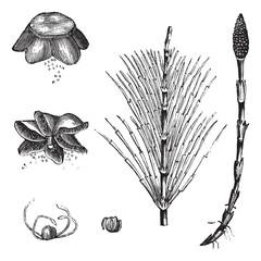 Field Horsetail or Equisetum arvense vintage engraving