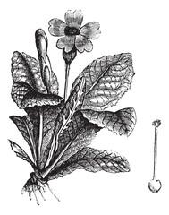 Cowslip or Primula veris vintage engraving