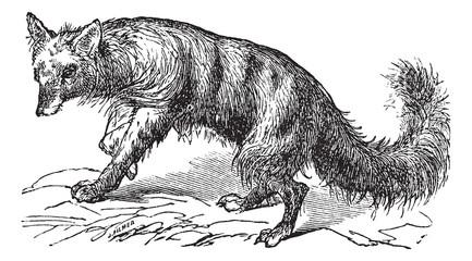 Aardwolf or Proteles cristatus vintage engraving