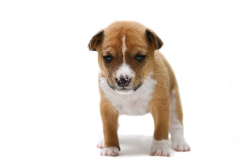 Little Basenji puppy, 3 weeks, on the white background