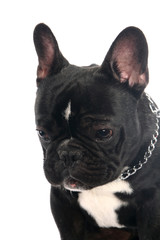 The smiling french bulldog poising on studio. Isolated on white.