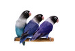 Three masked lovebirds on the white background