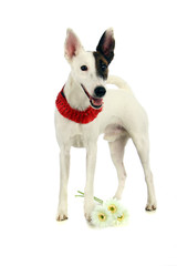 White sleek-haired fox-terrier on a white background
