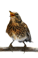 The female Fieldfare (Turdus pilaris), isolated on white
