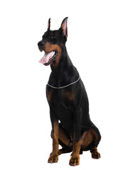Portrait of black doberman on a white backgriund