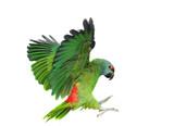 Flying festival Amazon parrot on the white background - Fine Art prints