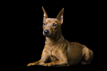 The tiny pinscher. Isolation on a black background