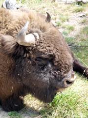 Bison d' Europe - europäisches Bison