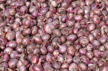 .Freshly dug organic onions drying on the soil surface