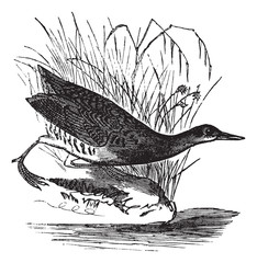 Rallus elegans or King rail vintage engraving