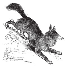 Red Fox or Vulpes vulpes vintage engraving