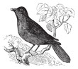 Great Reed Warbler or Acrocephalus arundinaceus vintage engravin