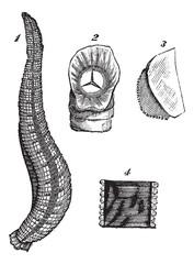Medicinal leech or Hirudo medicinalis vintage engraving