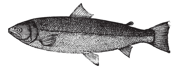 Atlantic salmon or Salmo salar vintage engraving