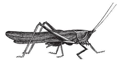 Meadow grasshopper or Chorthippus parallelus vintage engraving