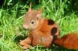 Leinwandbild Motiv Eichhörnchen