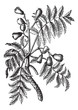 Sorbus domestica or Service Tree vintage engraving