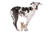 Great Dane HARLEQUIN and a chihuahua poster