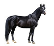 Black Trakehner stallion looking at camera