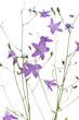 Wiesen-Glockenblume (Campanula patula) vor weißem Hintergrund