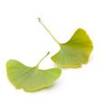 Ginkgo (Ginkgo biloba) zwei Blätter im Quadrat