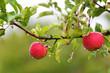 Nasse Äpfel am Baum
