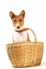 Basenji sits in the basket on the white background