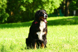 Bernese mountain dog (Berner Sennenhund) on nature