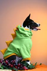 Basenji puppy, 4 months, in the fancy dress of dinosaur