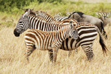 Zebra Mother and Foal in Southwestern Kenya poster