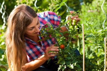 Gartenarbeit im Sommer - Frau erntet Tomaten
