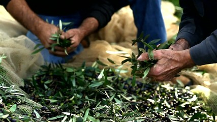 Farmers selecting olives to make olive oil