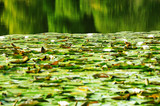 green lilly pads