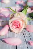 Fototapety Rose mit Rosenblättern