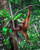 orangutanf in rainforest