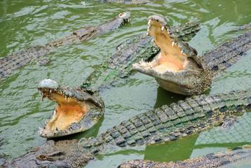 crocodiles, Samutprakarn, Thailand