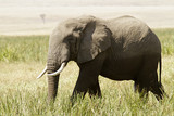 Elephant on the Masai Mara in Southwestern Kenya poster