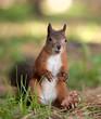 Fototapeten,eichhörnchen,rot,flaumig,tier