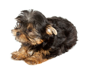Yorkshire Terrier puppy (3 months) in front of a white backgroun