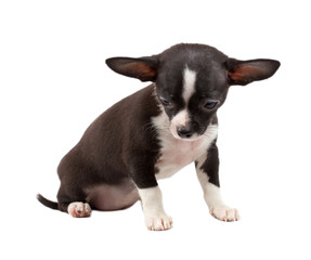 cute small chihuahua puppy sitting on white looking at camera is